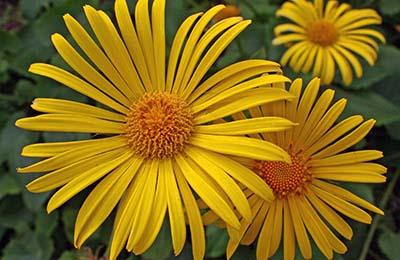 Цветок Девясила